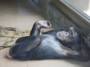 Chimpanzee01